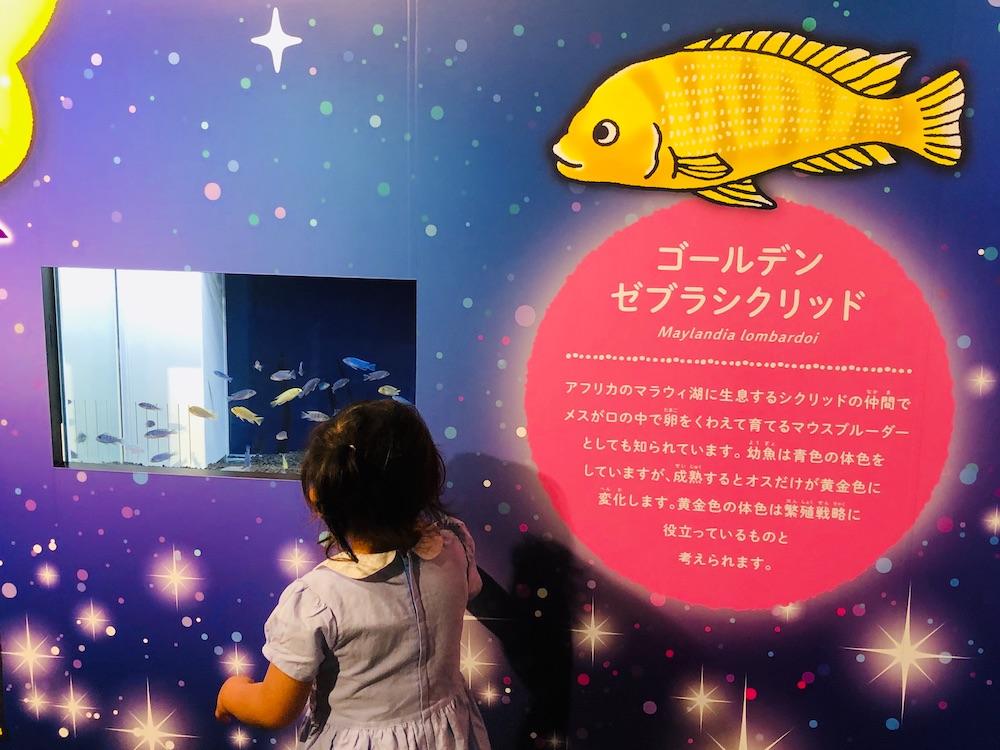 カワスイ 川崎水族館 水族館 川崎 子連れ お出かけ 子供連れ ナマズ たまずん ゴールデンゼブラシクリッド