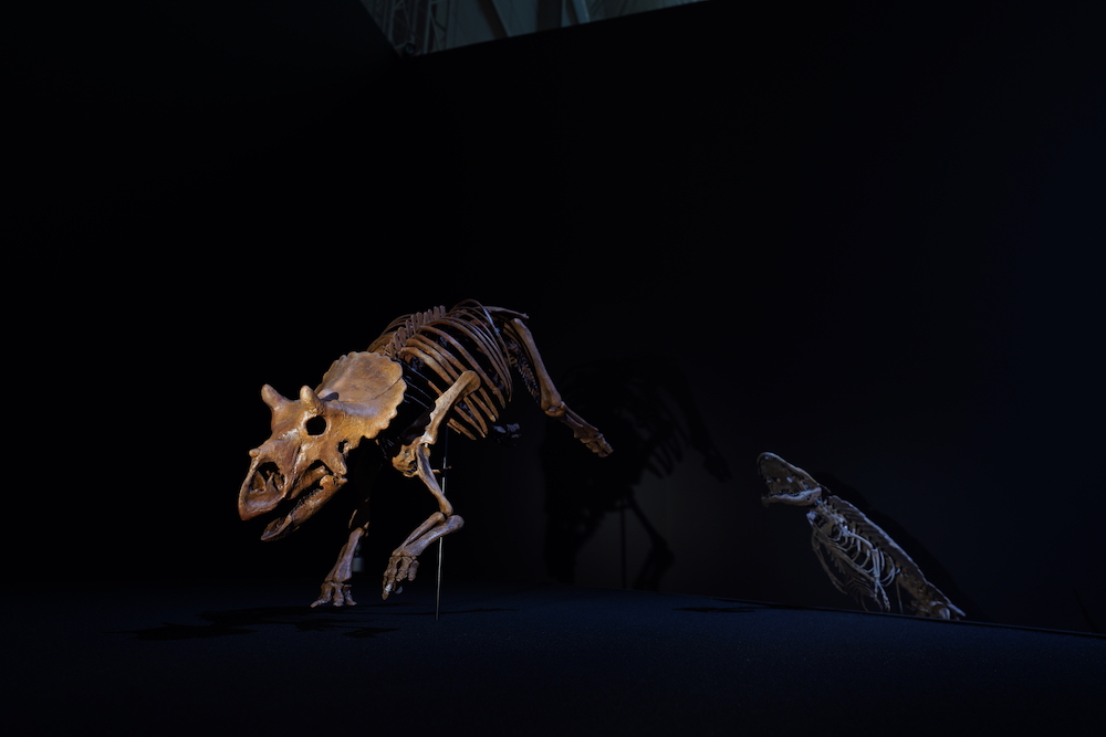 DinoScience 恐竜科学博 ソニー ララミディア大陸 恐竜展 みなとみらい パシフィコ横浜 トリケラトプス 幼体 化石 日本初公開